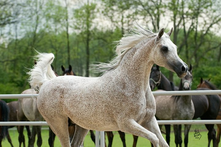 Pilar (Fawor x Pipi) A 1996 Polish Arabian mare that has been an amazing broodmare with many champions. Pride of Poland High seller.