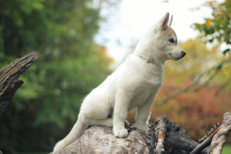 Sibirien Husky Puppy by Cecilia   on 500px