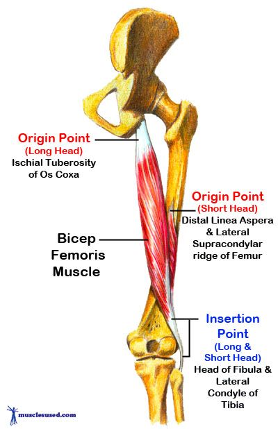 how to find the erecrtor femoris muscle