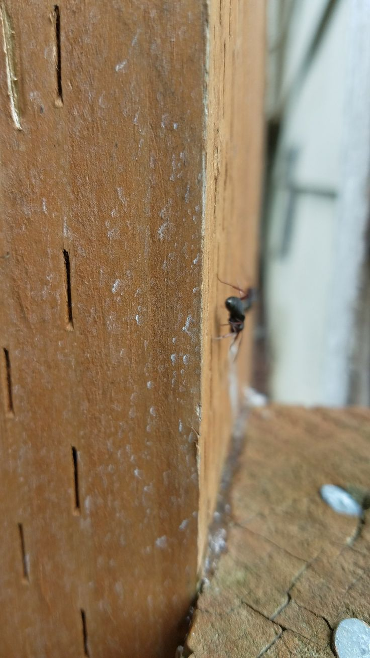 Carpenter ants removal service