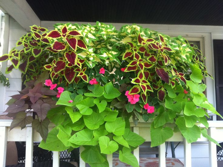 My Window boxes for shade. Came out beautiful this year! Coleus, potato vines and impatiens =)