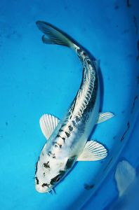 High quality koi carp for sale doitsu matsuba koi carp for High quality koi