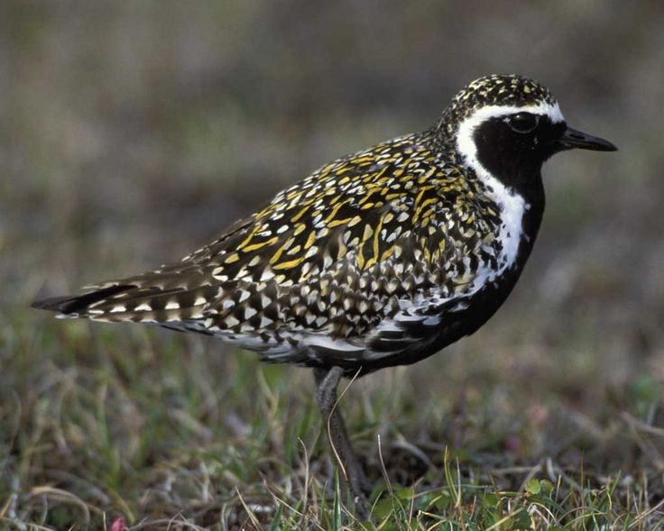 Pacific Golden-Plover (Breeding Plumage) | Audubon Field Guide