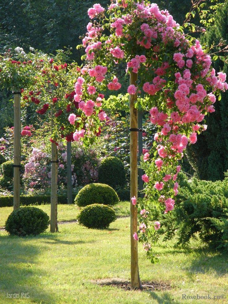 10 Best Standard Roses Images On Pinterest David Austin
