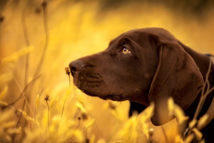 Gus - a german short haired pointer playing in long grass