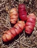 04 - ACHAKANA. Tubérculo cultivado en la agricultura incaica