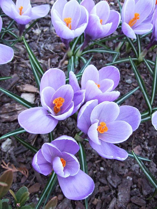 Pretty croucus blooms in pink, purple, yellow, or white in early spring. More early-season flowers: http://www.bhg.com/gardening/flowers/perennials/early-blooming-flowers/?socsrc=bhgpin050213crocus=11
