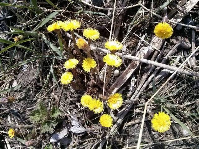 PODBĚL KVĚT Na staveništích, u vod, na pasekách, náspech, podél cest i vlomech se rostlinný svět dere v přestihu za sluníčkem, zrcadlíc jeho sílu i krásu ve zlatavých kvítkách. Nejprve ze země vyrazí zvědavý, šupinatý výhonek, který rozjasní svým kvítkem jarní přírodu, pomaličku se probouzející…… Vítá jaro, láká první hmyz i sběrače, natěšené po dlouhé…