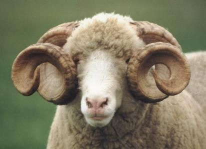 Dorset Sheep Breed - Horned Dorset Ram