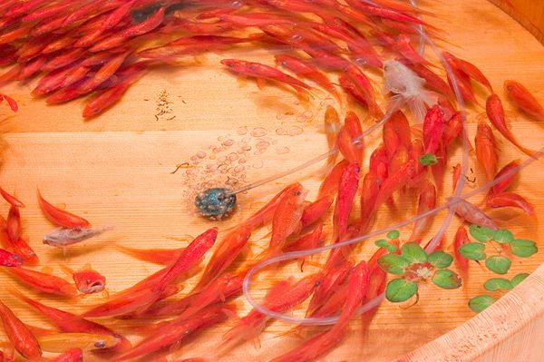Riusuke Fukahori Paints Three Dimensional Goldfish Embedded in Layers of Resin sculpture resin painting fish
