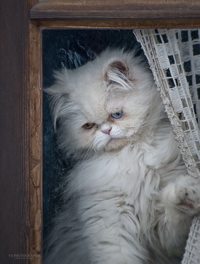White Persian cat in the window ~ by Yves Schüpbach