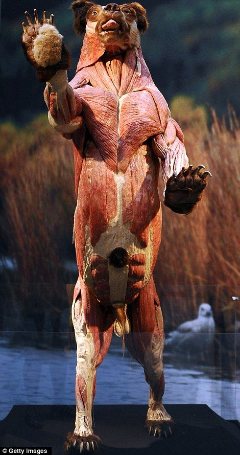 Full length: This bear exhibit shows the height of the beast as it rears up on its back legs