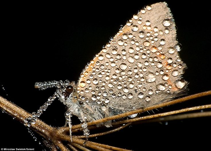 Bejewelled: This month looks like it has been encrusted in diamonds as it rests on a twig    Read more: http://www.dailymail.co.uk/sciencetech/article-1260946/The-stunning-pictures-sleeping-insects-covered-early-morning-dew.html#ixzz1paYtTcmQ