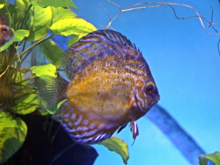 Рыба  Дискус.