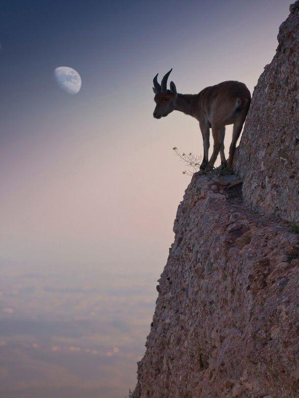 A goat takes a treacherous trail to reach a few flowers