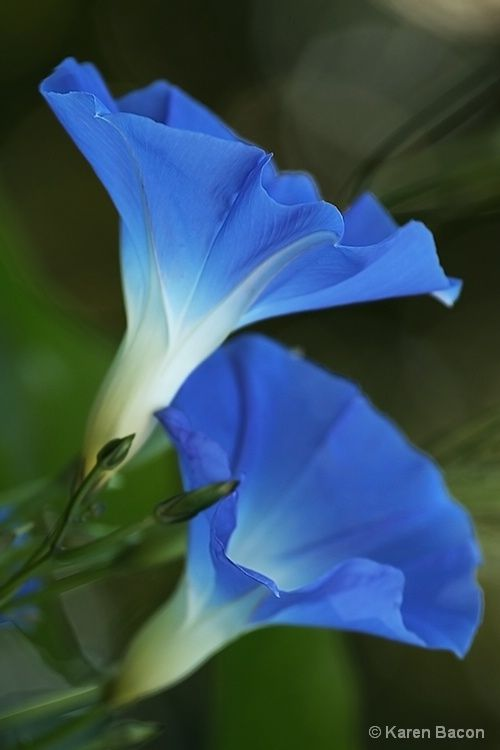 Morning Glory, especially its seeds (provided natural ones and just right amount) attract and bind someone / something.