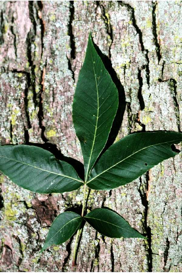 Carya glabra- pignut hickory leaf