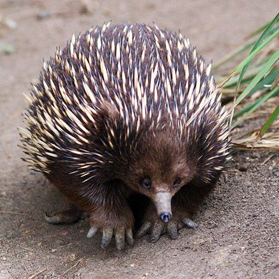 Echidna together with the platypus, are the only extant mammals that lay eggs (order Monotremata).
