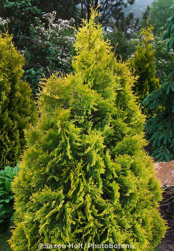 Yellow Chartreuse Foliage Evergreen Shrub Dwarf Conifer