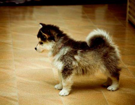 Best 25+ Corgi husky mix ideas on Pinterest | Corgi dog ...