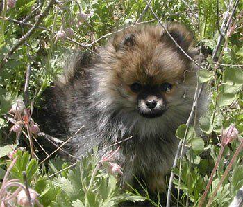 318 best I ♥ Pomeranians images on Pinterest