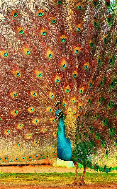 Peacock, beautiful feathers.