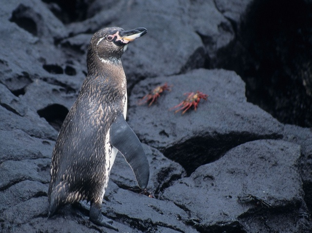Galápagos Penguin (Spheniscus mendiculus), Galápagos Islands, Ecuador by Derek Keats, via Flickr