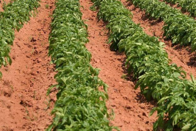 Посадка картофеля широкими рядами - личный опыт