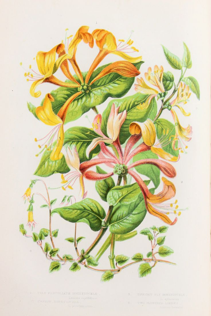 35 best images about Honeysuckle tattoo on Pinterest | Watercolors, Honey and Botanical prints