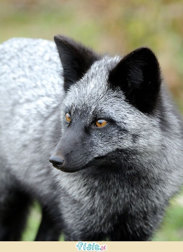Rzadkie czarne lisy