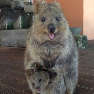 Baby quokka smiling - photo#18