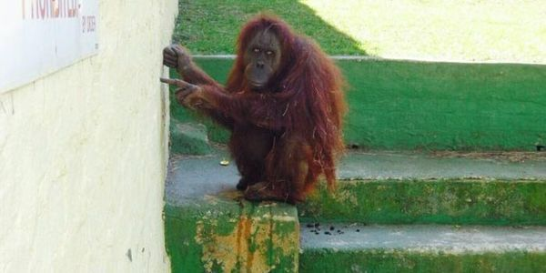 Opal the Orangutan has spent 36 lonely years in her cage. Help her get to a sanctuary!