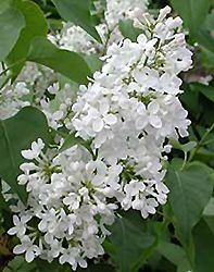 White Common Lilac (Syringa vulgaris 'Alba') at Bachman's Landscaping