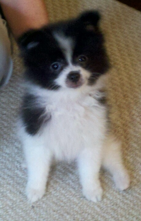 pomeranian puppies for sale in texas cheap 1000 images about parti poms on pinterest teacup 3270