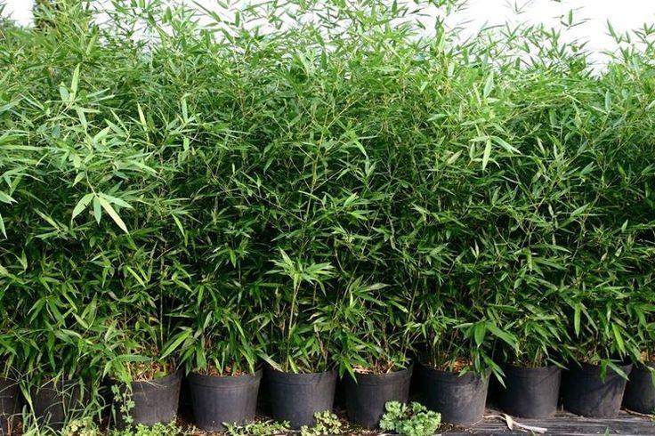 coltivare il bambù in vaso - Cerca con Google