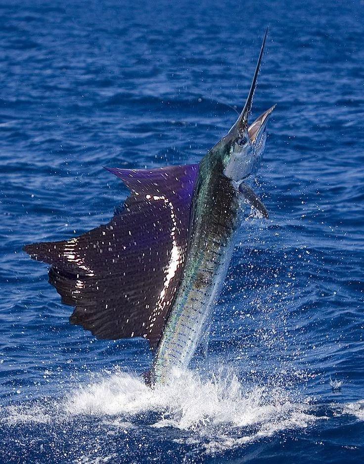 Sailfish Giant of The Seas