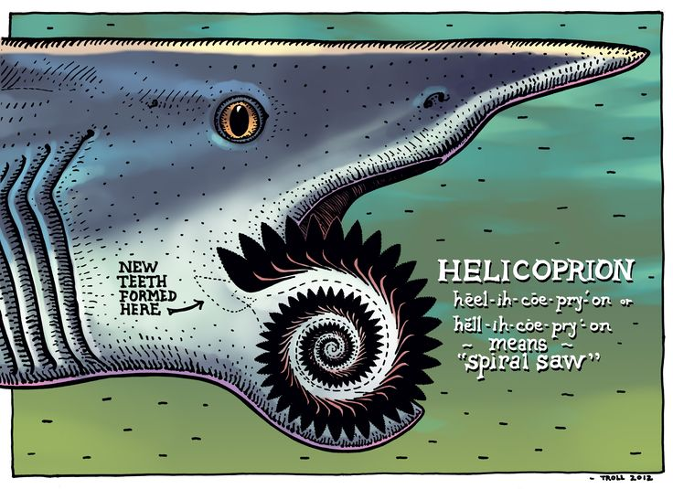 """Helicoprion or the """"Spiral Saw"""" ratfish. A type of """"shark"""" that roamed the waters of the late Carboniferous 310 million years ago. It is disputed about how exactly it fits together but some scientists believed it had no top row of teeth. Only a bottom row of razor sharp teeth that were perpetually replaced by the """"buzzsaw"""" enclosed fully by the jaw."""