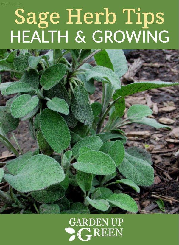 Garden Up Green Growing Sage Sage Herb Herbs