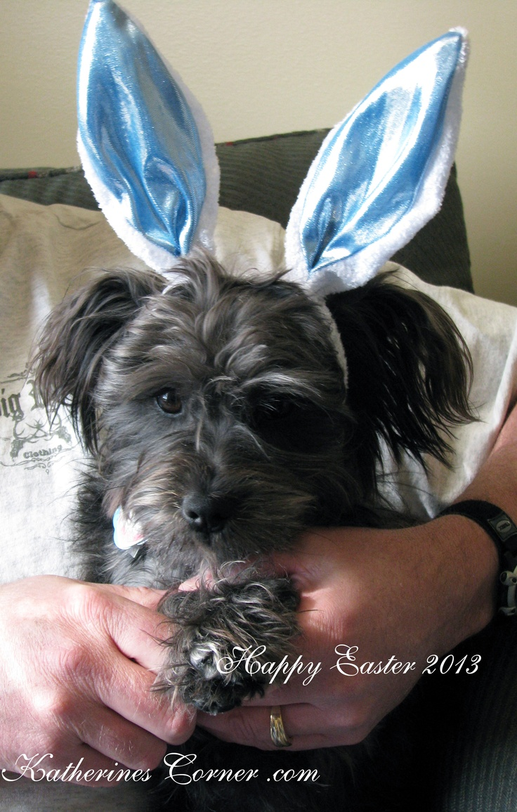 our Easter bunny Izzy. this is our Schnapso. The Schnapso is a mixture of Miniature Schnauzer and Lhasa Apso)