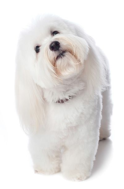 "The Coton de Tulear is a very hardy small-sized (8 to 13 pounds), long-coated companion. Happy and clownish, the breed is eager to please and very loyal. Meaning ""cotton"" in French, the Coton de Tulear has a soft, white coat."
