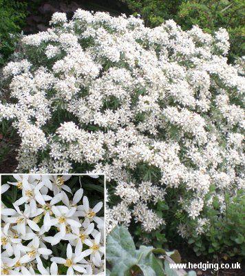 Choisya White Dazzler (Choisya x dewitteana White Dazzler) (Londaz)
