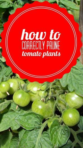 Terrific guide to pruning tomato plants correctly for the highest yield. Also includes a video. If you want to grow tomatoes in your vegetable garden, learn how pruning makes a big difference.