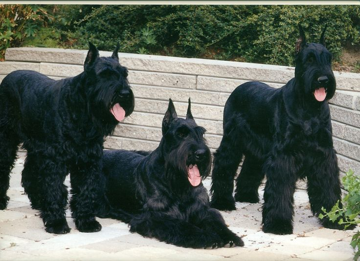 Giant Schnauzer. They are members of the working group. They are great cattle drivers. They stand at 23 1/2-27 1/2 inches at the shoulder and weigh about 55-80 pounds.
