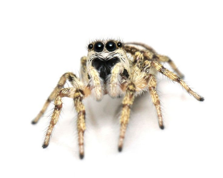 Oregon may have at least 500 species of spiders and we put photos of them in a gallery so you can look at them.