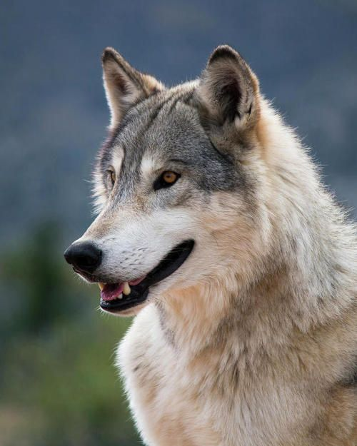 Tundra Wolf by © Randy Heidenreich Wolf photos, Wolf dog