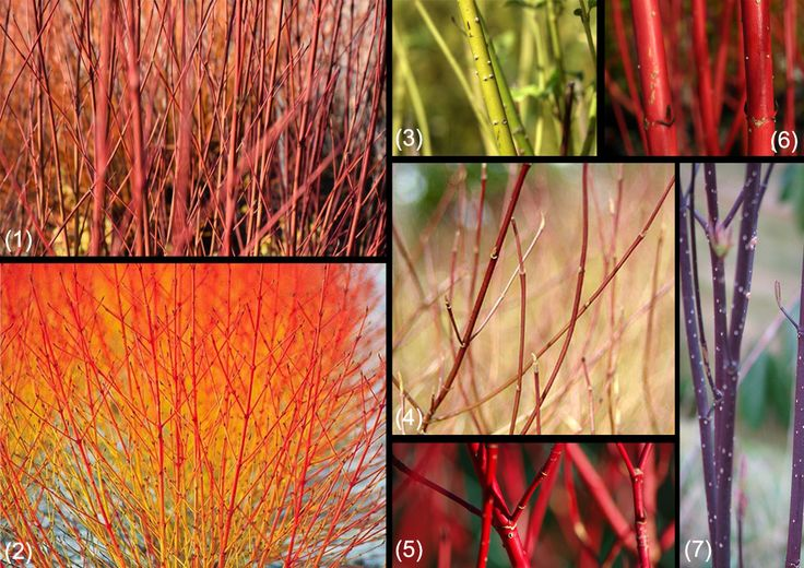 Species of Cornus for winter decoration in the garde, with amazing coloured stems.    1 - Cornus sericea Cardinal, 2 - Cornus alba Midwinter Fire, 3 - Cornus sericea bud's yellow, 4 - Cornus sericea kelseyi, 5 - Cornus alba Baton Rouge, 6 - Cornus alba Sibirica, 7 - Cornus alba Kesselringii.