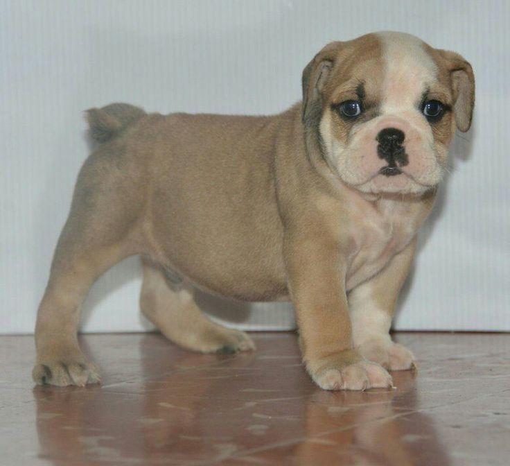 Cachorrito Bulldog Ingles de 2 meses. 26 mil pesos a tratar. Aprovecha y dale a tú hijo un excelente compañero y amigo. Se entregan con pedigree, chip, tatuaje, carnet de vacunas y desparasitado. Hacemos envíos a cargo del comprador. Tenemos varios ejemplares y precios. Manda inbox o al Whatsapp 4735603469.