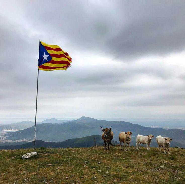 Catalonia - cows and me on the top of Puig D'Esquers  #inCostaBrava #CatalunyaExperience #CataloniaCostaBrava #danishadventurer #spain #visitspain #igspain #spaingram #ilovespain #colora #sponsoreret