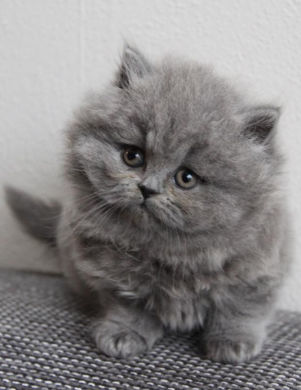 British Longhair Kitten Cattery Gal Bak The Netherlands Www Kittentekoop N British Shorthair Ideas Of British Pretty Cats Cute Baby Animals Cute Cats