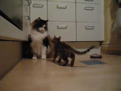 1.3Kg Bengal wants to take down a 8.6Kg Maine Coon - Three Million Dogs